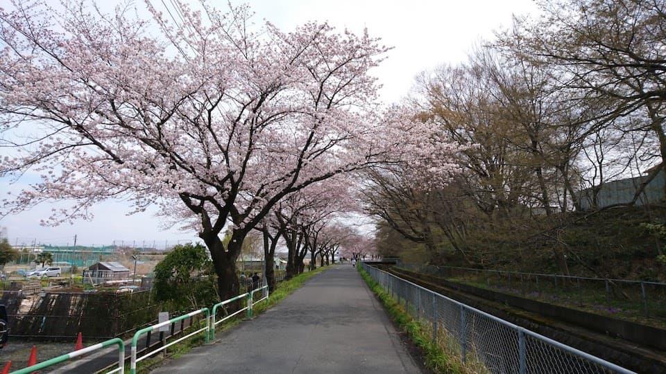 日本一の桜並木!「見沼代用水路」の散歩道でお花見ラン